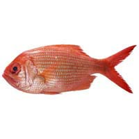 41980 - RED SNAPPER